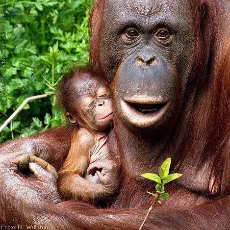 Orangutan and Baby - R. Wiltshire