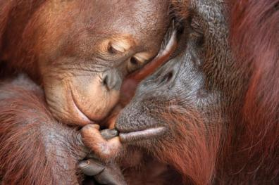 Orangutan and Baby, Tanjung Puting National Park, Borneo, Indonesia