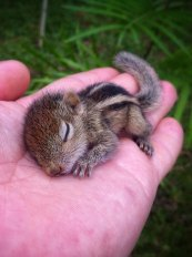Palm Squirrel