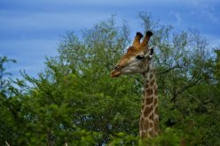 Peeping Tom KNP - (Chris Martin Wildlife Photography)