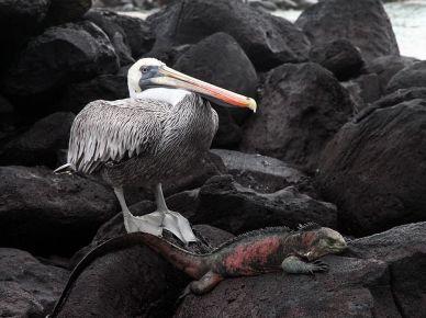 pelican-iguana-galapagos_56399_990x742