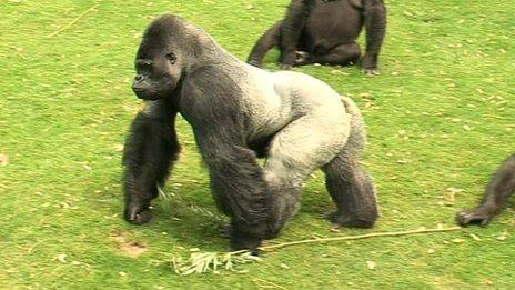 Port Lympne's gorilla Djala returned to Gabon