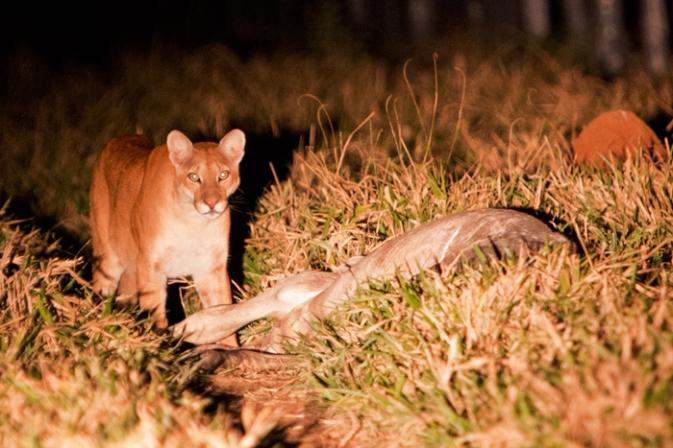 Puma-looking-at-camera