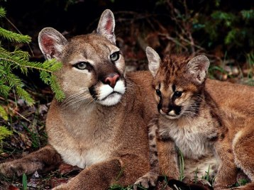 Puma with baby - Photo by Bill Bishop