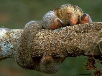Pygmy Silky Anteater (Cyclopes didactylus)
