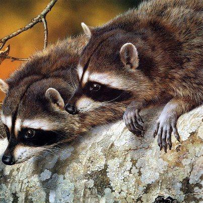 Racoons - Kelly Okavango