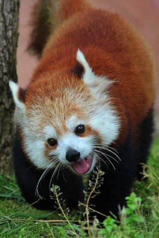Red Panda laughing