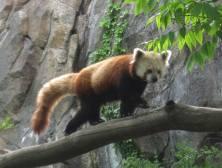Red Panda walking