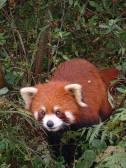 Red Panda watching