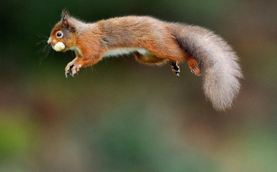 Red Squirrel - Picture © OWEN HUMPHREYS PA