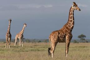 Reticulated Giraffes 2 at Segera Retreat, Kenya - Michael Poliza Photographer