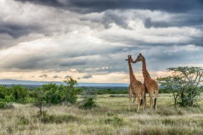 Reticulated Giraffes 3 at Segera Retreat, Kenya - Michael Poliza Photographer