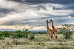 Reticulated Giraffes 3 at Segera Retreat, Kenya - Michael Poliza Photographer