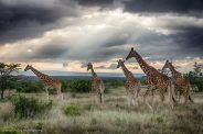 Reticulated Giraffes at Segera Retreat, Kenya - Michael Poliza Photographer