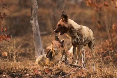 Saliva flies as two wild dogs exchange greetings on a firebreak on Southern Londolozi.