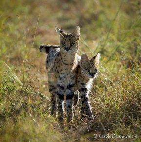Serval by Carole Deschuymere