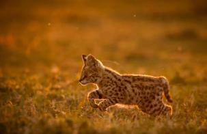 Serval cub. Photo by Ken & Michelle Dybal.