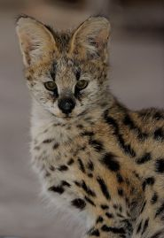 Serval (RooiKat) - Africa, through my lens