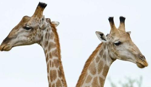 Singita giraffe