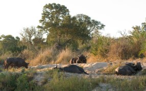 Snoozing buffalo bulls on the banks of the Manyelethi River