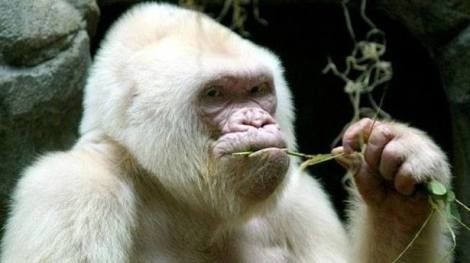 Snowflake, the only albino gorilla known to man
