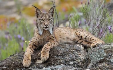 Spanish Lynx (Lynx Pardinus)