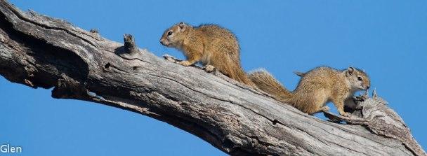 Squirrels, Wellington Cape, South Africa - Photo Glen Heramb