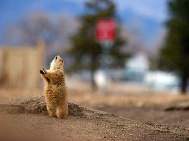 suburban-prairie-dog-081209_3644_990x742