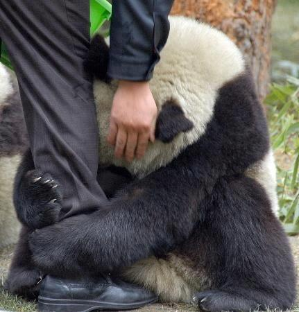 Terrified Panda hugging police officers leg after an earthquake