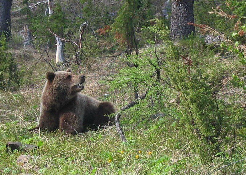 The brown bear (Ursus arctos) is a large bear distributed across much of northern Eurasia and North America.