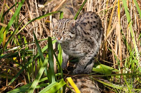 The fishing cat (Prionailurus viverrinus) is a medium-sized wild cat of South and Southeast Asia.