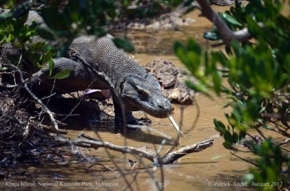The Komodo dragon (Varanus komodoensis), also known as the Komodo monitor, is a large species of lizard found in the Indonesian island