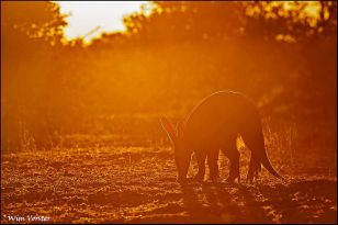 The rarely seen Aardvark in a gorgeous backlit scene by Wim Vorster Photography