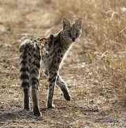 The serval (Leptailurus serval) known in Afrikaans as Tierboskat, tiger-forest-cat, is a medium-sized African wild cat.