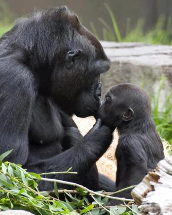 This is a lovely picture of Hasani the gorilla with his mother, during his baby days