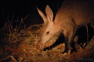 This photo was taken in the Kalahari by Brett Horley.