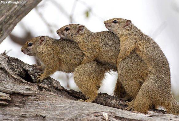Three tree squirrels by Max Waugh