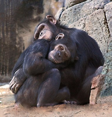 Two chimpanzees in embrace.