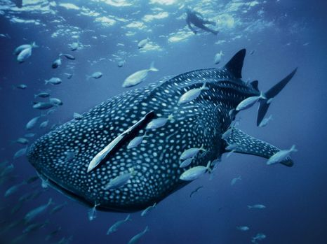 whale-shark-skerry_28399_990x742