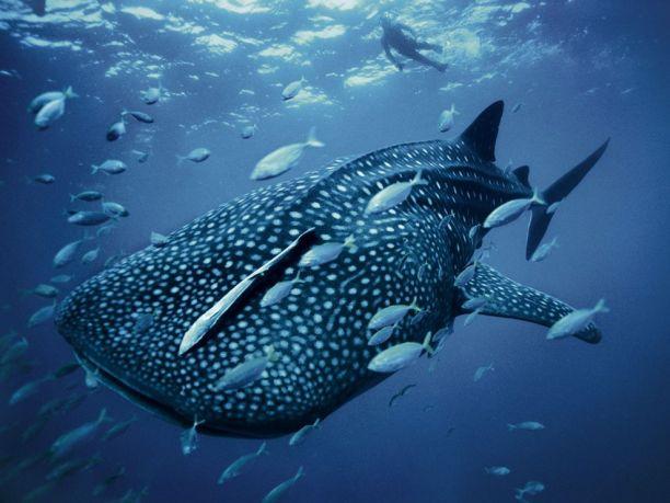 whale-shark-skerry_28399_990x742