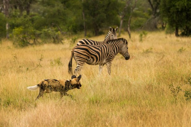 Wild dog and zebra