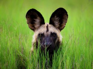 wild-dog-botswana_6340_990x742