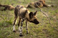 Wild-dog-pup - 5Oct12 Londolozi