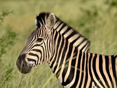 016-Zebra-Profile