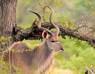 038-Handsome-Kudu