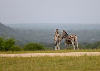 046-Curious-Zebras