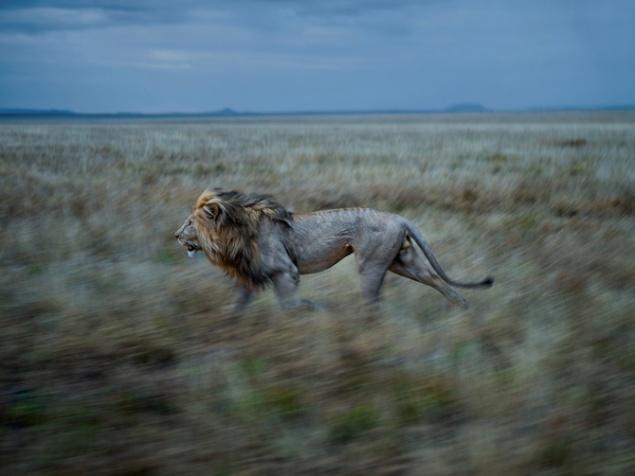 20-hildur-runs-to-simba-east - Photograph by Michael Nichols