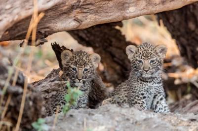 5 week old cubs by Karen Gautet