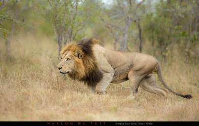 A large male lion stalks ever closer to an unsuspecting warthog by Marlon du Toit Photography