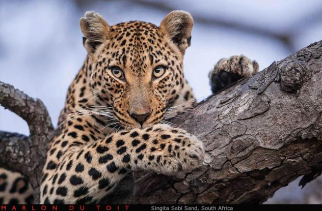 A leopardess keeps herself well groomed whilst watching out for her boisterous little cubs.